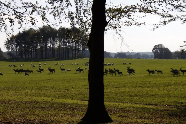 Deer in Tatton Park - click for more on the photo